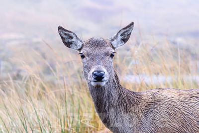 Close up portrait of deer in Scottish highlands.