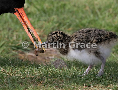 Eurasian Oystercatcher (Haematopus ostralegus) feeds a larva to its 3-4 day-old chick, Highland Wildlife Park, Kincraig, Inve...