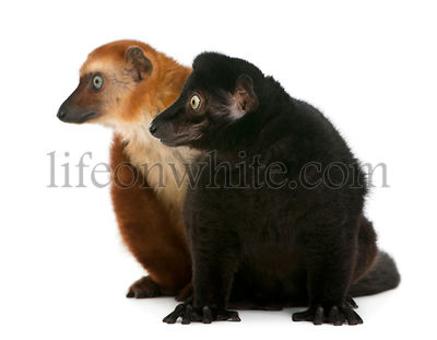 Male and female blue-eyed black lemurs, Eulemurs flavifrons, 3 years old, sitting in front of white background