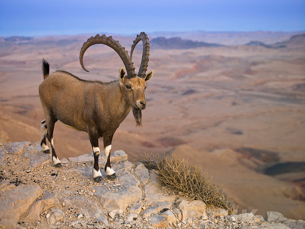 Male Ibex standing on cliff of mountain, Israel