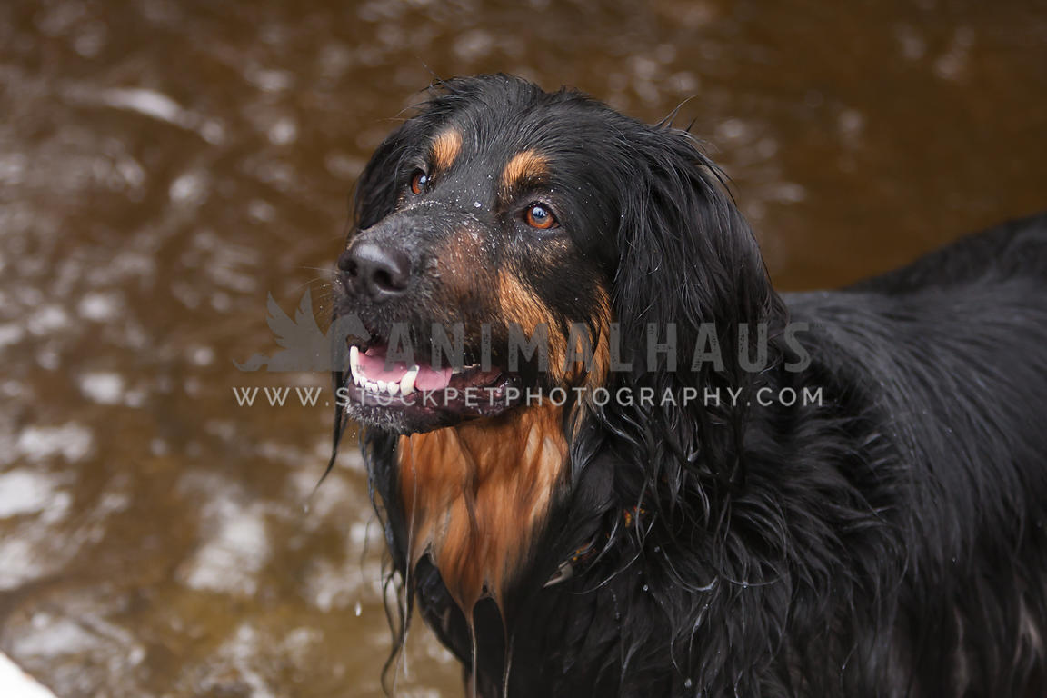 close up of back dog dripping water in the pond