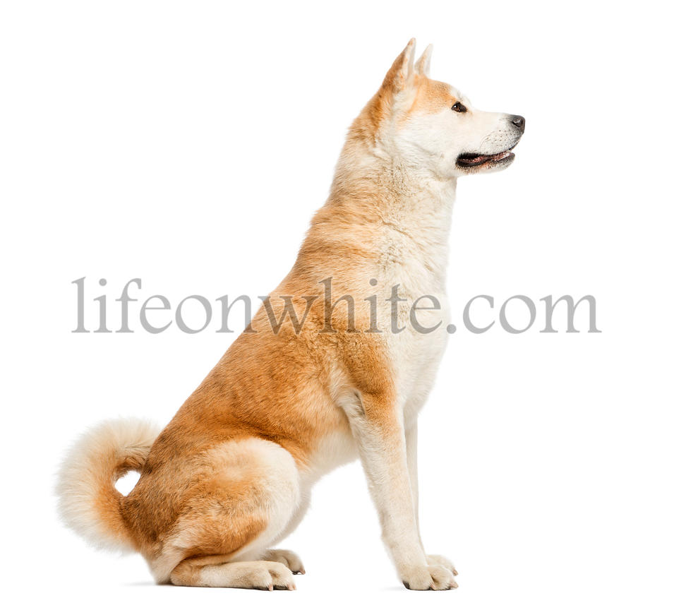Side view of Akita Inu sitting, 2 years old, isolated on white