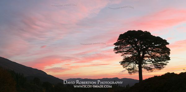 Image - Scots Pine tree and sunrise, Glen Affric Panoramic
