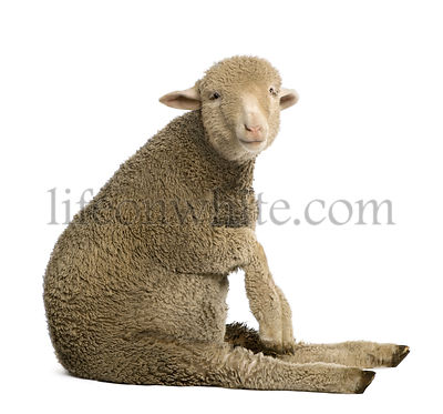 Merino lamb, 4 months old, sitting in front of white background