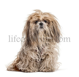 Shaggy Shih Tzu, isolated on white