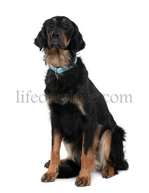 Hovawart dog, 2 years old, sitting in front of white background