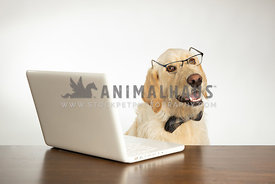 Dog wearing glasses and working on computer isolated on white background