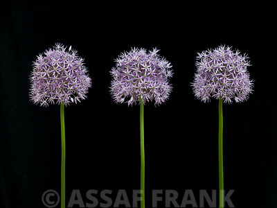 Five Allium flowers in a row