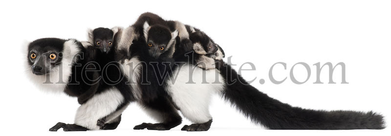 Mother and baby Northern black-and-white ruffed lemurs, Varecia variegata subcincta, 7 years old and 2 months old, in front o...