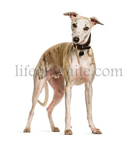 Sighthound dog standing against white background