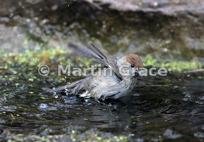 Female Eurasian Blackcap (Sylvia atricapilla) bathes enthusiastically in the garden pond, Lake District National Park, Cumbri...