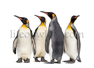 Colony of king penguins together, isolated on white