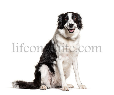 Black and white Border Collie panting, isolated on white