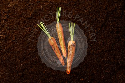 Ripe fresh Carrot on black ground background