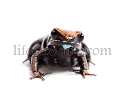 Brown mantella, Mantella betsileo, in front of white background