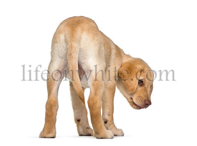 Labrador Retriever, 2 months old, in front of white background