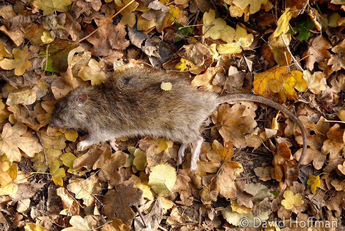 071125_Hollingbourne_40 Dead rat, rigor mortis, at about 12 noon so died in early morning. 25 Nov 2007.