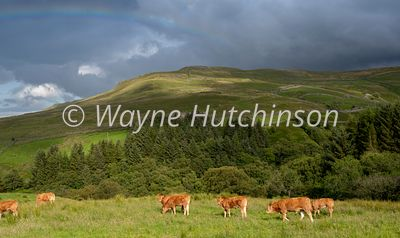 Herd of Limousin cattle grazing in an upland pasture with a rainbow overhead. Yorkshire Dales, UK.