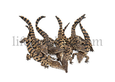 Group of Young West African slender-snouted crocodile, Mecistops cataphractus, isolated on white