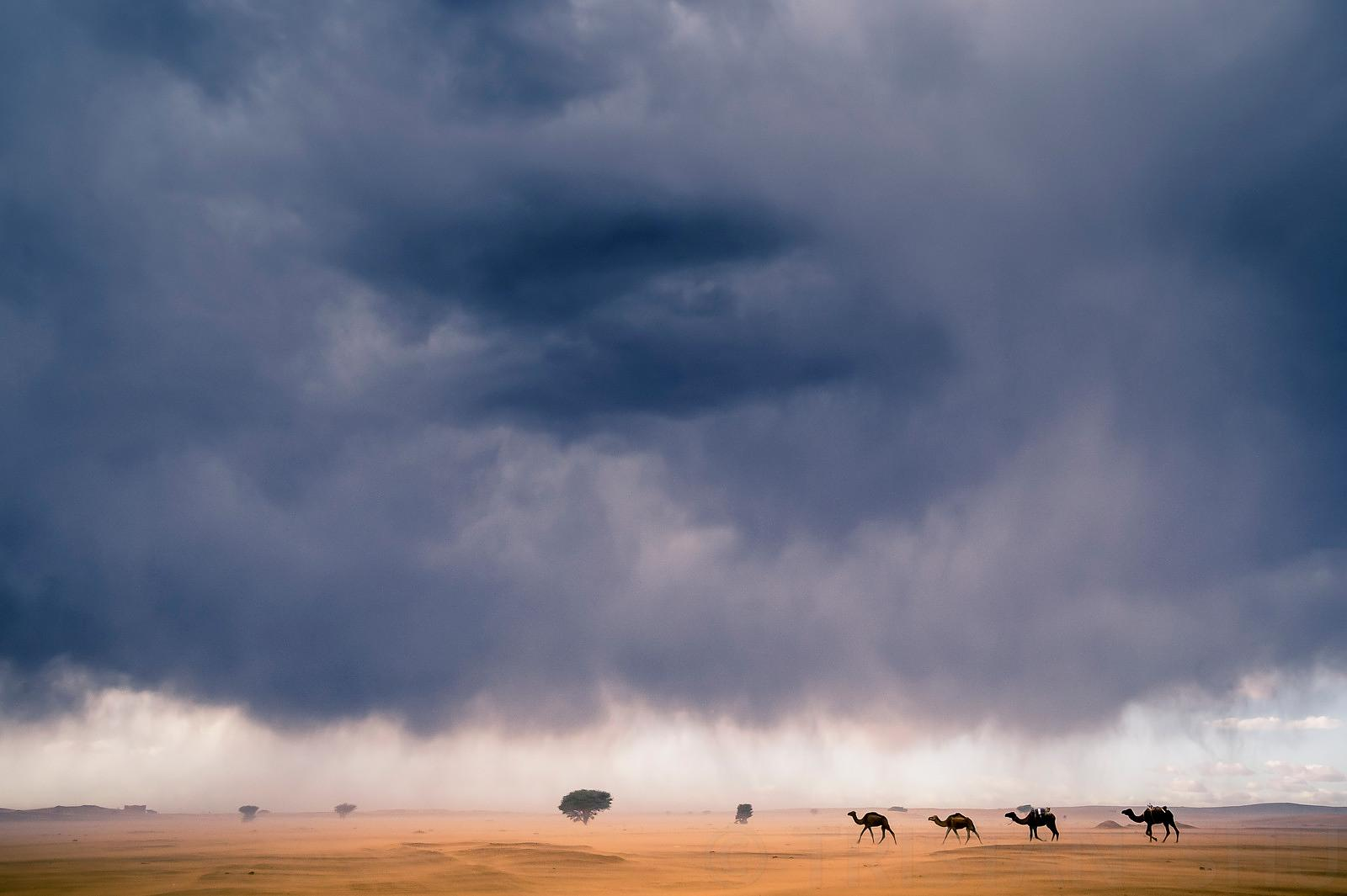 Camels under the storm