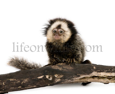 Young White-headed Marmoset on piece of wood, Callithrix geoffroyi, 5 months old, studio shot