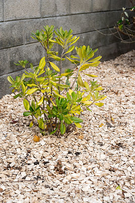 Laurier palme sur paillis de bois dans un jardin ∞ Cherry laurel on wood chips mulching in a garden