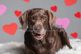 olcer chocolate lab making funny face in front of backdrop with hearts