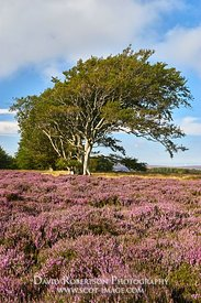 Beech trees and Ling Heather. Lammermuir Hills, East Lothian, Scotland