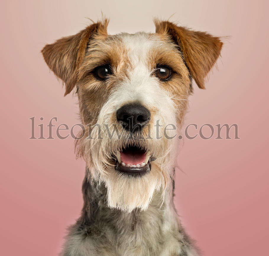 Close-up of a Fox terrier facing, panting, on pink gradient background