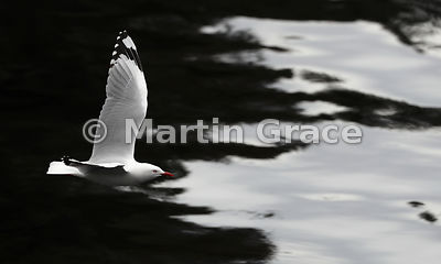 Out Of The Darkness: a high-contrast image of a Red-Billed Gull (Larus novaehollandiae scopulinus) flying out of shade into t...