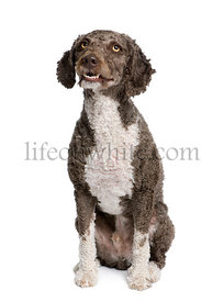 Spanish water spaniel dog, 3 years old