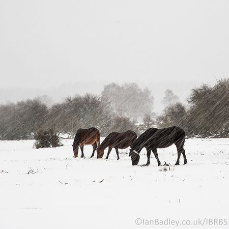 Three ponies in a snow blizzard
