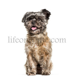 Cairn Terrier sitting against white background