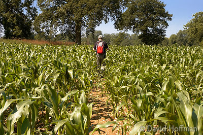 Public right of way through a field of maize growing on farmland in Kent. raditional use available on request. Credit is requ...
