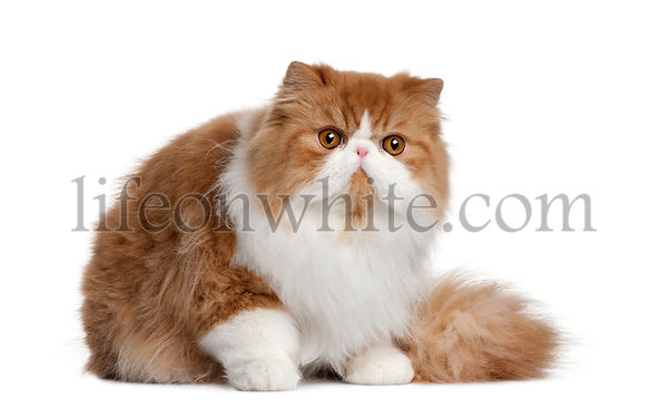 Persian cat, 10 months old, sitting in front of white background