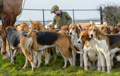 Belvoir hounds at the meet at Sheepwash