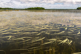 Wild rice in Borden Lake