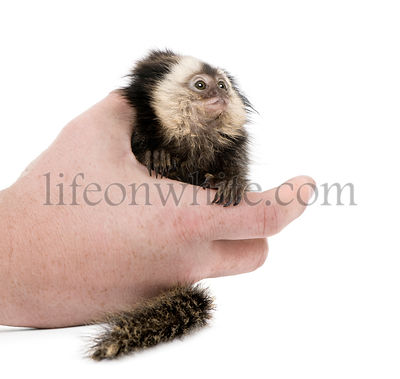 Person holding young White-headed Marmoset, Callithrix geoffroyi, 5 months old, in front of white background