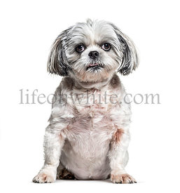 Shih Tzudog , isolated on white