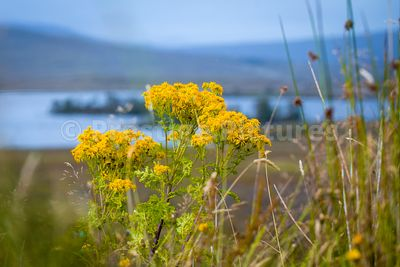 Wild yellow flowers on Rannoch Moor near Glencoe