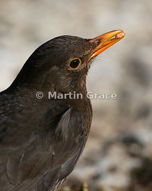 Female Common Blackbird (Turdus merula) with food item in her bill, Lake District National Park, Cumbria, England