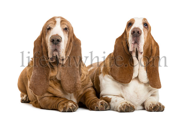 Two Basset Hounds lying, isolated on white