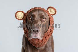 chocolate lab wearing bear snood