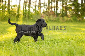 Black labradoor puppy with one paw lifted standing in grass with forest in background.