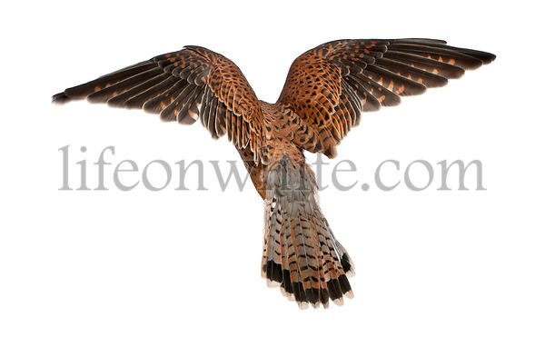 Common Kestrel, Falco tinnunculus, flying in front of white background