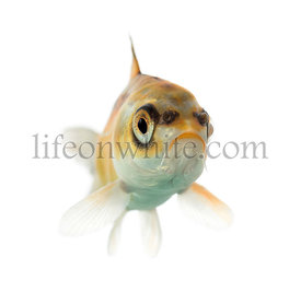 Front view of a yellow koi swimming isolated on white