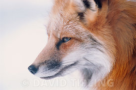 Fox Vulpes vulpes in winter coat Finland