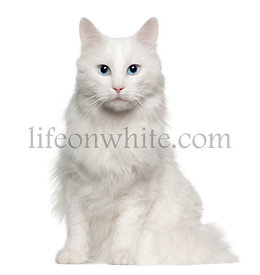 Portrait of Turkish Angora cat, 4 years old, sitting in front of white background