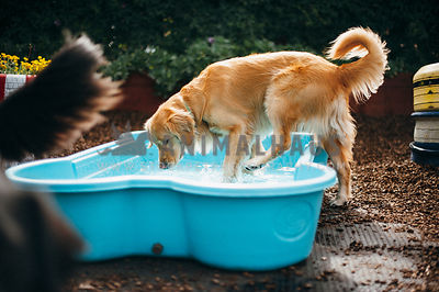 Golden Retreiver getting into a bone shaped pool in the backyard