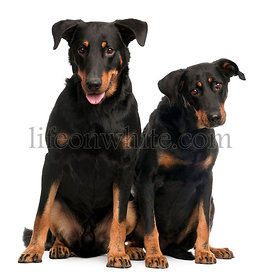 Beauceron dogs, 3 and 7 years old, sitting in front of white background